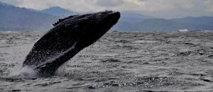 Sailing with whales in Costa Rica