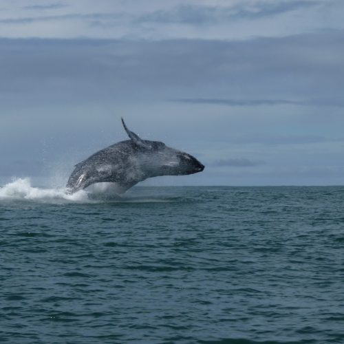 A giant whale jumps during a tour in Costa Rica