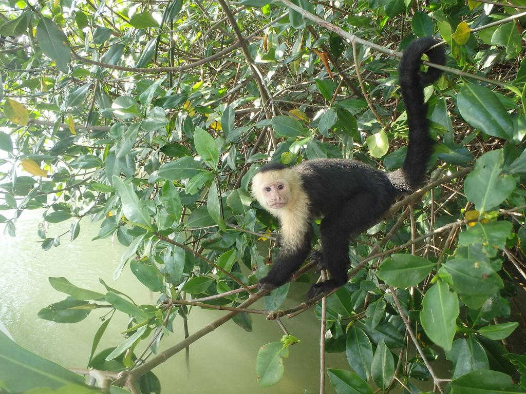 El mono capuchino de cara blanca, Manuel Antonio Costa Rica