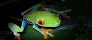 Observación de ranas en Costa Rica
