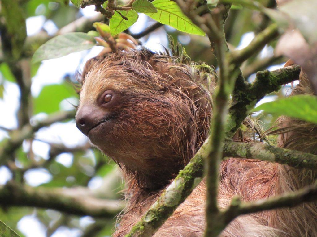 העצלן המדהים בטורטוגרו קוסטה ריקה