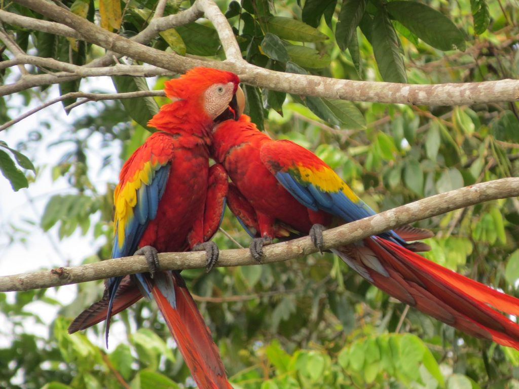 הציפורים הצבעוניות בקורקובדו קוסטה ריקה