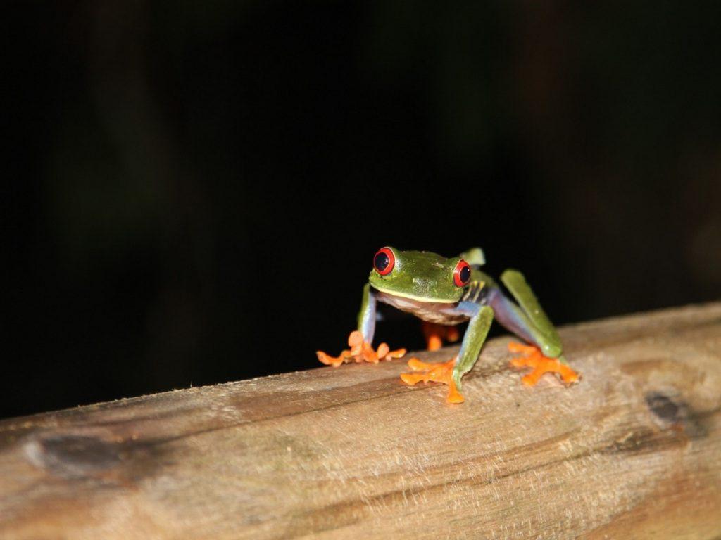הצפרדע הצבעונית שניתן לפגוש בסיורי לילה בקוסטה ריקה
