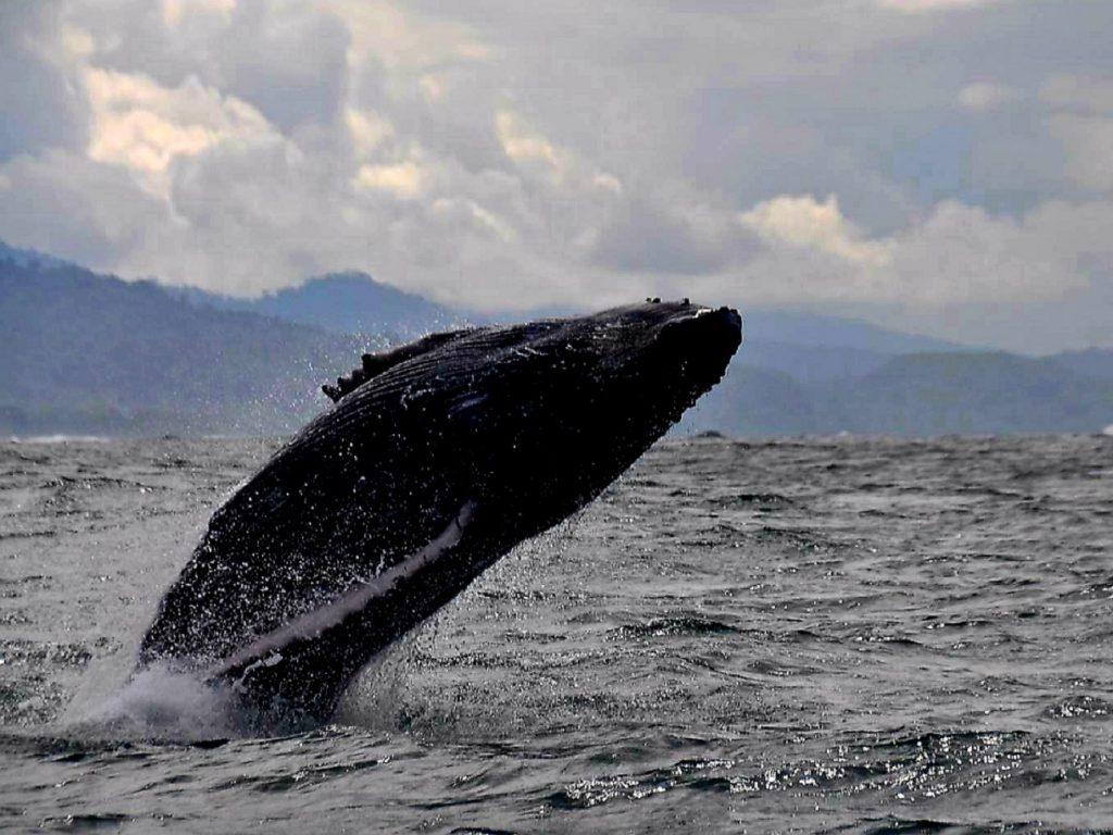 זינוק של ליווייתן במהלך שיט בקוסטה ריקה