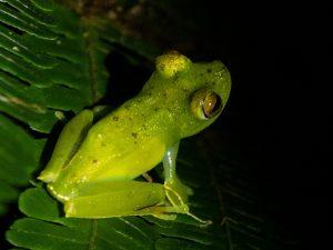 צופה בצפרדעים בקוסטה ריקה