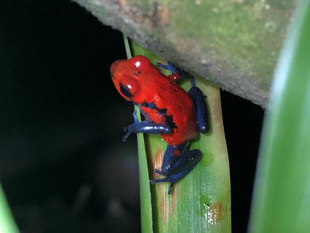 צפרדע אדומה במונטה ורדה קוסטה ריקה