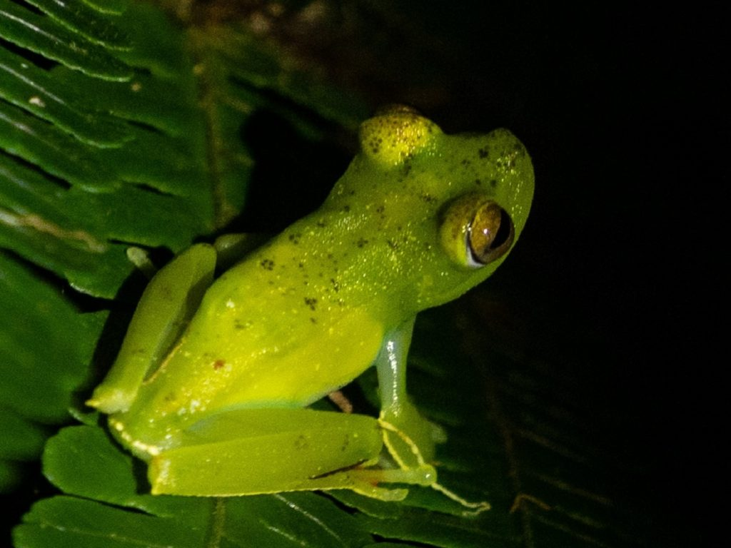 צפרדע מדהימה באיזור מנואל אנטוניו קוסטה ריקה