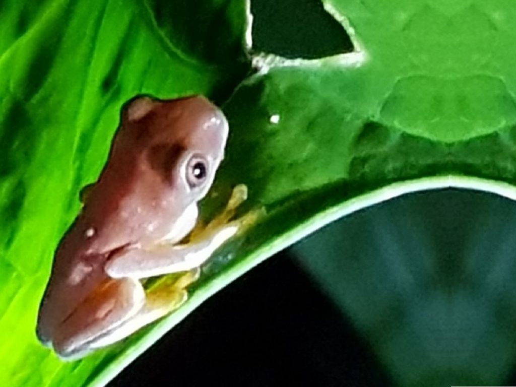 צפרדע מיוחדת באיזור קורקובדו קוסטה ריקה