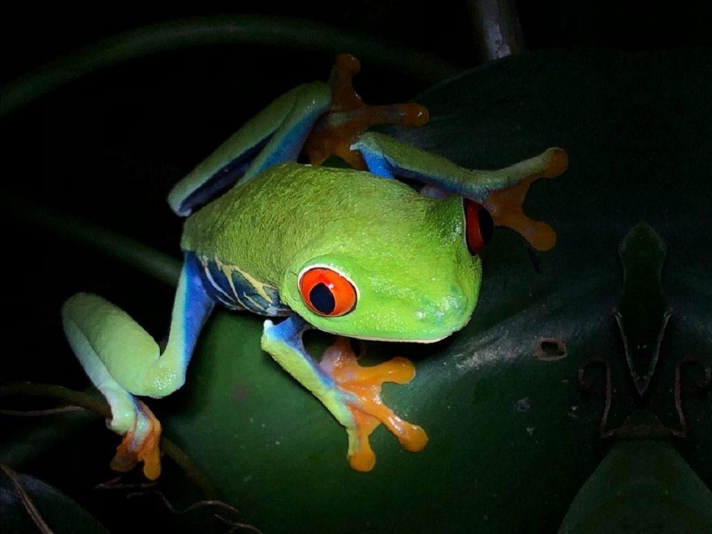 צפרדע צבעונית בארנל קוסטה ריקה