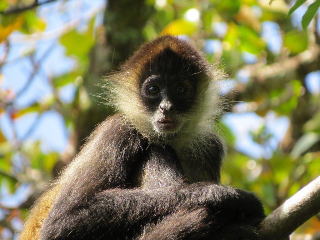 קוף בפארק רינקון דה לה ויאחה בקוסטה ריקה